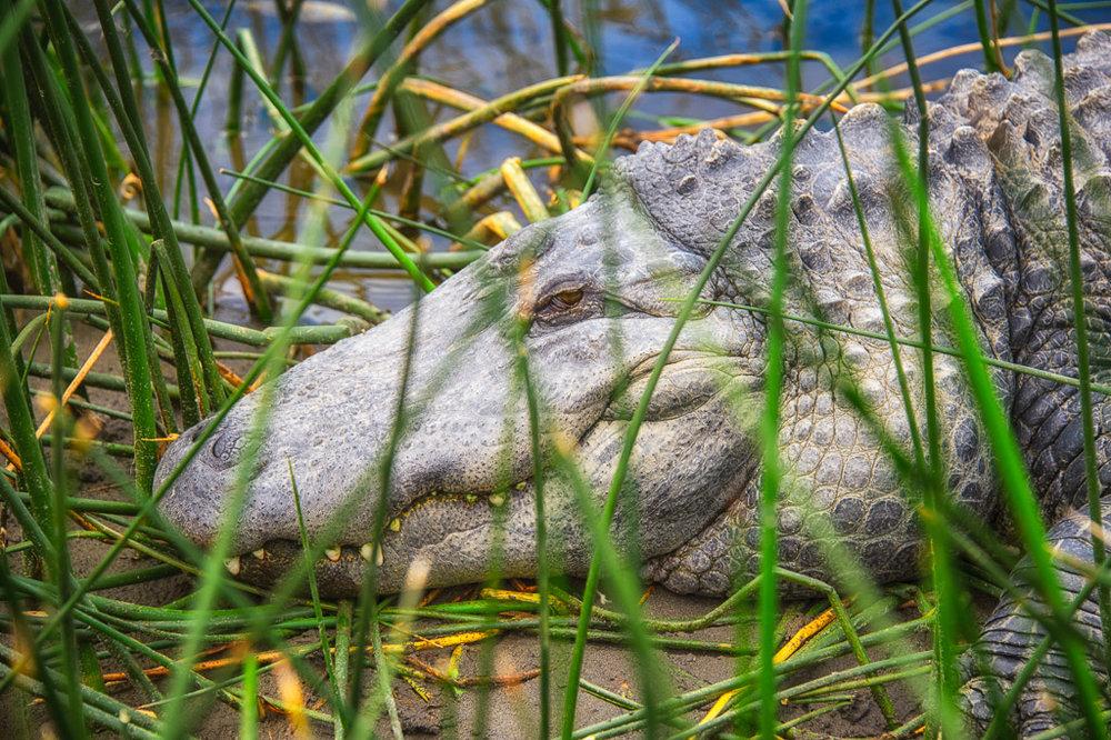 American Crocodile in Alamosa