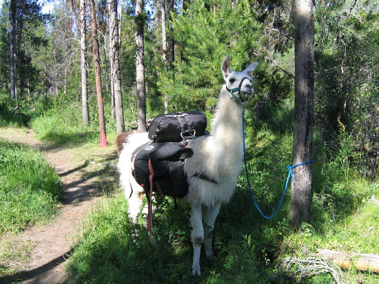 Ride with llamas